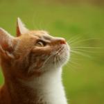 【猫の健康】鳴き声からもわかる猫の健康!