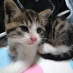 【子猫の飼い方】生後3-4週目の、赤ちゃん猫の保育方法!