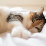 【猫の避妊と去勢】避妊&去勢の手術を受けた猫の体質や性格の変化に注意!