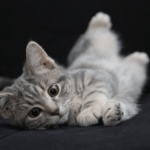 【猫の避妊と去勢】メス猫の避妊、オス猫の去勢手術の時期とその費用