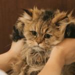 【猫の健康】外見チェック毛の色艶、鼻、目、耳をチェックしよう!