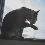 【猫の生態】「猫が顔を洗うと雨が降る」は本当?ウソ?