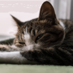 【猫の白血病】猫が白血病に感染したときの対処法!