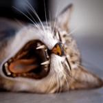 【猫の病気】猫がご飯を食べない理由は歯周病かも知れない!